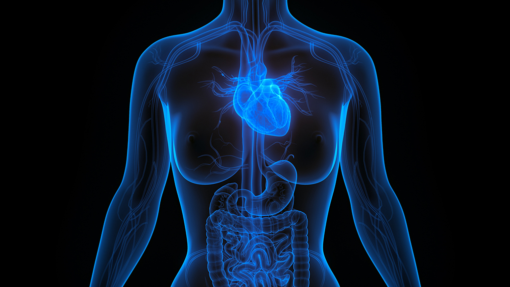 Human Heart Anatomy. 3D